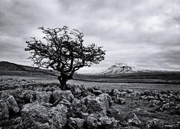 The hardy tree Canvas print by David McCulloch