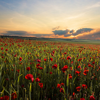 Buy canvas prints of Poppy Fields by Ian Hufton