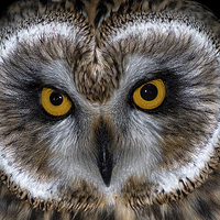 Buy canvas prints of   Short Eared Owl by Ian Hufton