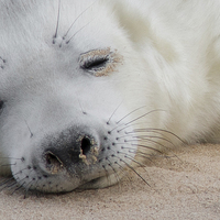 Buy canvas prints of  Seal Pup by Ian Hufton