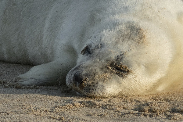 Seal Pup Canvas Print by Ian Hufton