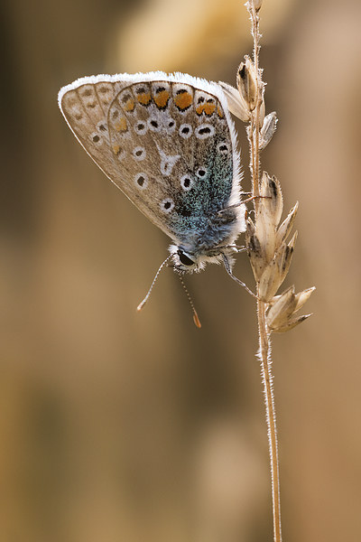 Common Blue butterfly Canvas print by Ian Hufton
