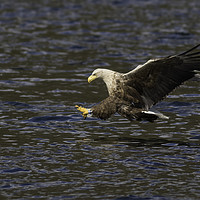 Buy canvas prints of White Tailed Eagle by Ian Hufton