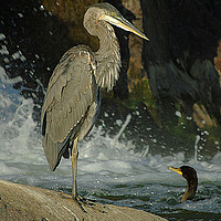 Buy canvas prints of Heron & Cormorant by Gary Barratt