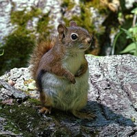 Buy canvas prints of Little Red Squirrel by Gary Barratt