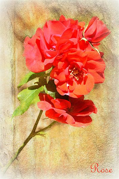 Rose Canvas print by Fine art prints by Rina