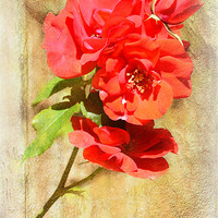 Buy canvas prints of Rose by Fine art prints by Rina