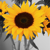 Buy canvas prints of Sunflower by Kevin Warner