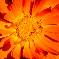 Buy canvas prints of Marigold Sunny Face. by Maggie Mccall