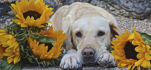 My Labrador My little Sunflower Canvas print by Sue Bottomley