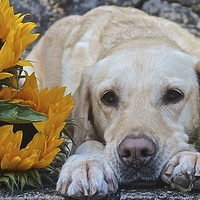 Buy canvas prints of  My Labrador My little Sunflower by Sue Bottomley