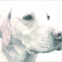 Buy canvas prints of  Drawing Photo affect of a Yellow Labrador Dog by Sue Bottomley