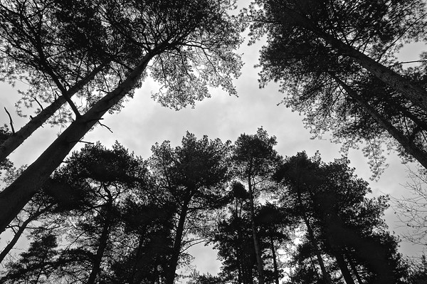 Under the tree's looking up B&W Photograph        Canvas print by Sue Bottomley