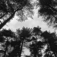 Buy canvas prints of  Under the tree's looking up B&W Photograph        by Sue Bottomley