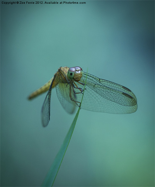 Dragonfly Canvas print by Zoe Ferrie