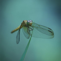 Buy canvas prints of Dragonfly by Zoe Ferrie