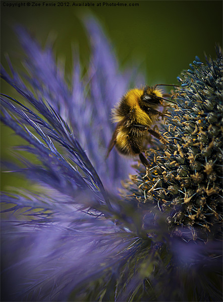 Busy Bee! Canvas print by Zoe Ferrie