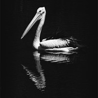 Buy canvas prints of The Pelican by Zoe Ferrie