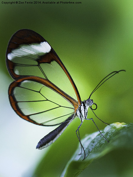 Macro photograph of a Glasswinged Butterfly Canvas print by Zoe Ferrie
