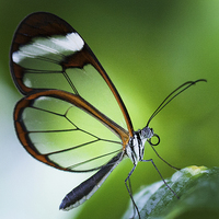 Buy canvas prints of Macro photograph of a Glasswinged Butterfly by Zoe Ferrie