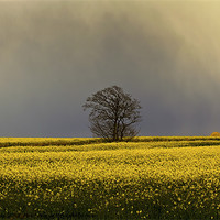 Buy canvas prints of Stormy sky over rape field by Jim Jones