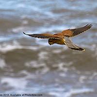 Buy canvas prints of Kestrel hovering (Falco tinnulculus) by Jim Jones
