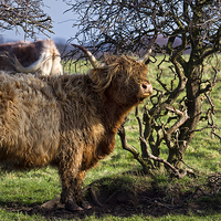 Buy canvas prints of Highland cattle and a gnarled tree by Jim Jones
