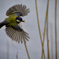 Buy canvas prints of Great Tit with spider in its beak by Jim Jones