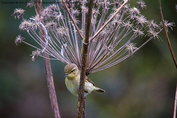 Young Willow Warbler perched in Cow Parsley Print by Jim Jones