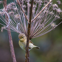 Buy canvas prints of  Young Willow Warbler perched in Cow Parsley by Jim Jones