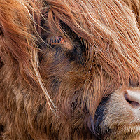 Buy canvas prints of Highland Cow portrait by Jim Jones