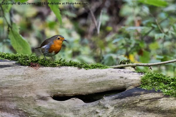 Robin perched on a fallen tree trunk Print by Jim Jones