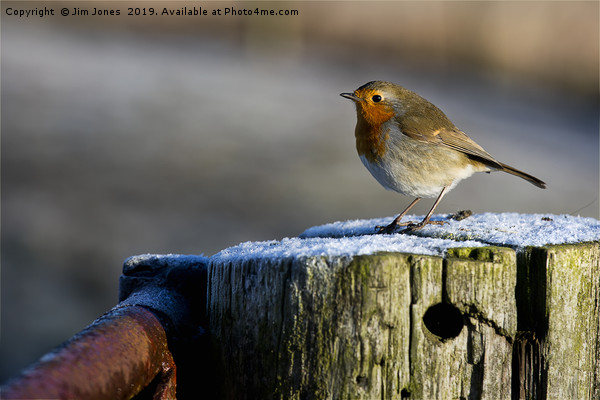 Robin in winter sunshine (2) Canvas print by Jim Jones