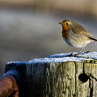 Buy canvas prints of Robin in winter sunshine (2) by Jim Jones