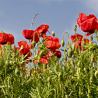 Buy canvas prints of Pretty Poppy Panorama by Jim Jones