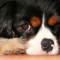 Buy canvas prints of Sometimes a little dog just needs to rest! by Jim Jones