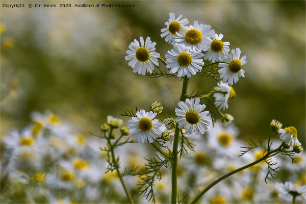 English Wild Flowers - Chamomile Canvas Print by Jim Jones