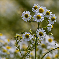 Buy canvas prints of English Wild Flowers - Chamomile by Jim Jones