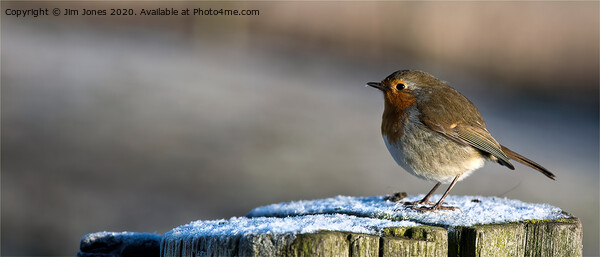 Robin in Winter Sunshine Framed Mounted Print by Jim Jones