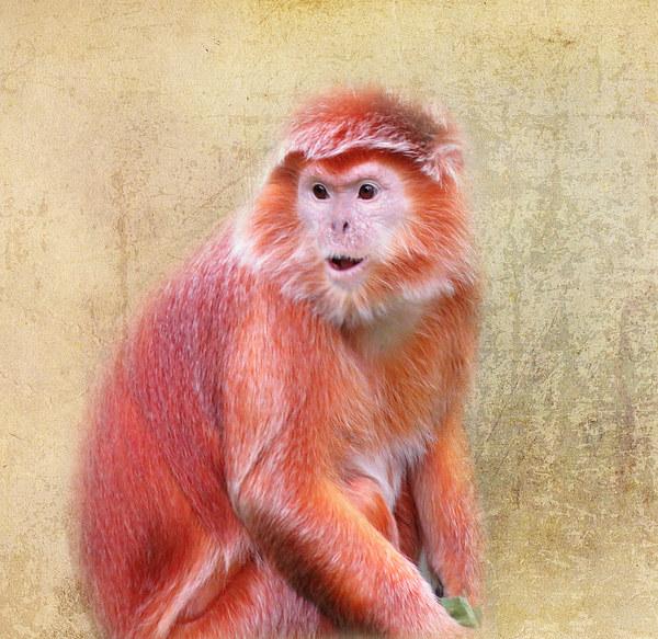Javan Langur Framed Print by Kim Slater
