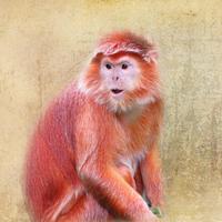 Buy canvas prints of  Javan Langur by Kim Slater