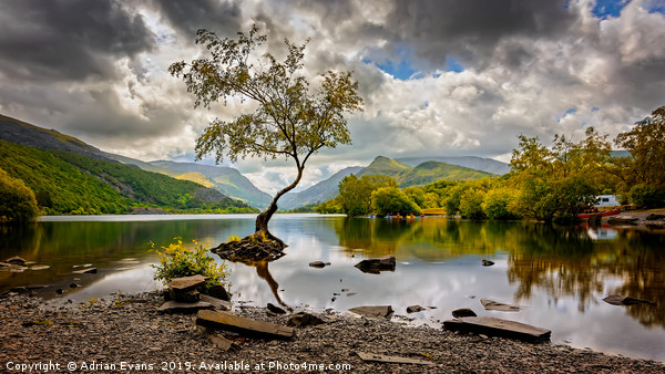 Padarn lake Tree Llanberis  Acrylic by Adrian Evans