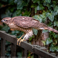 Buy canvas prints of Sparrowhawk UK by Adrian Evans