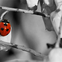 Buy canvas prints of Ladybird selective colour by Gary Pearson