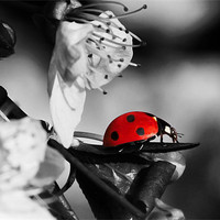 Buy canvas prints of Ladybird on blossom by Gary Pearson