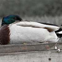 Buy canvas prints of Sitting duck by Gary Pearson