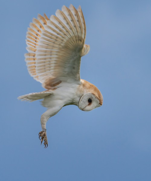 Hunting Barn Owl Canvas print by Gary Pearson