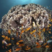 Buy canvas prints of  Coral Head by Aziz Saltik