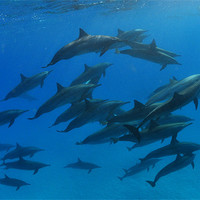 Buy canvas prints of Dance of the Dolphins by Aziz Saltik