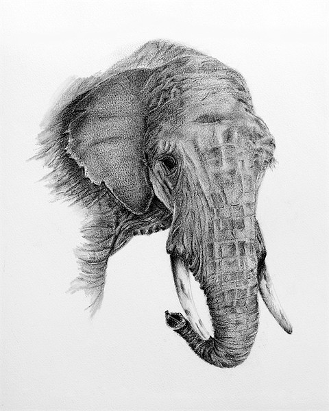 Fine art drawing, of elephant Canvas print by David  Worthington